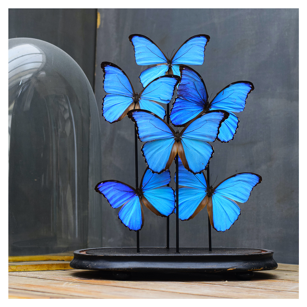 Antique collection of butterflies with glass dome